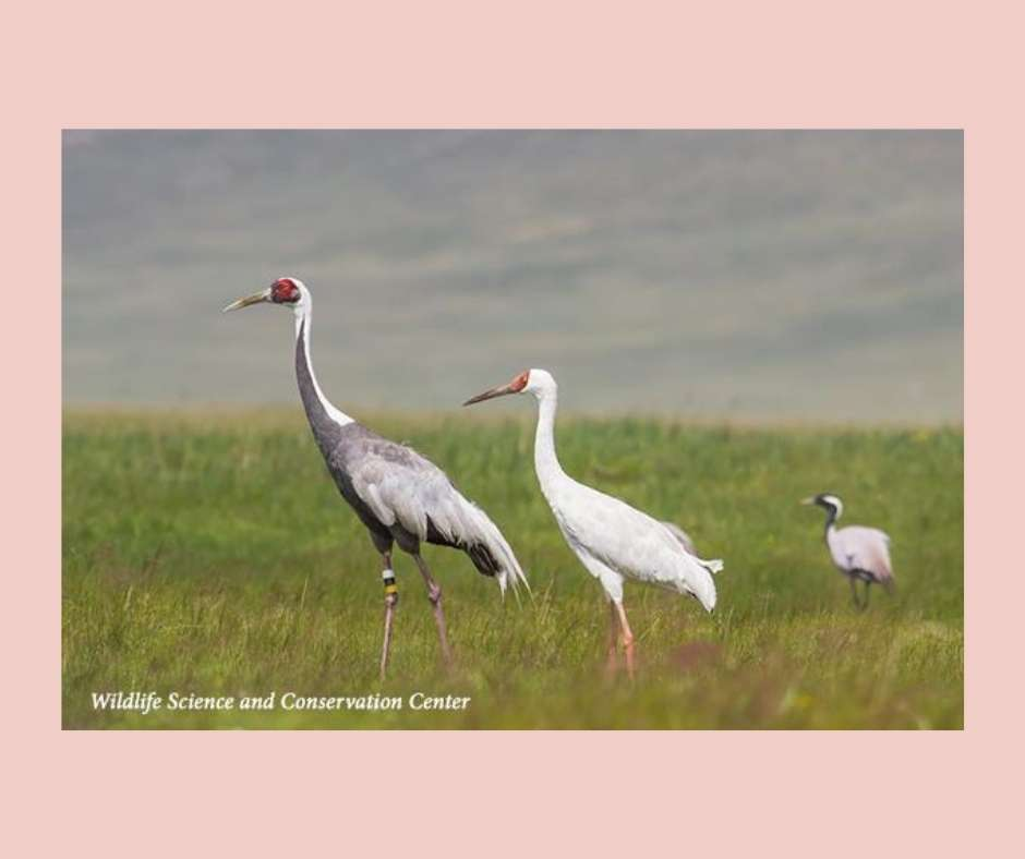 White-naped Cranes in Mongolia