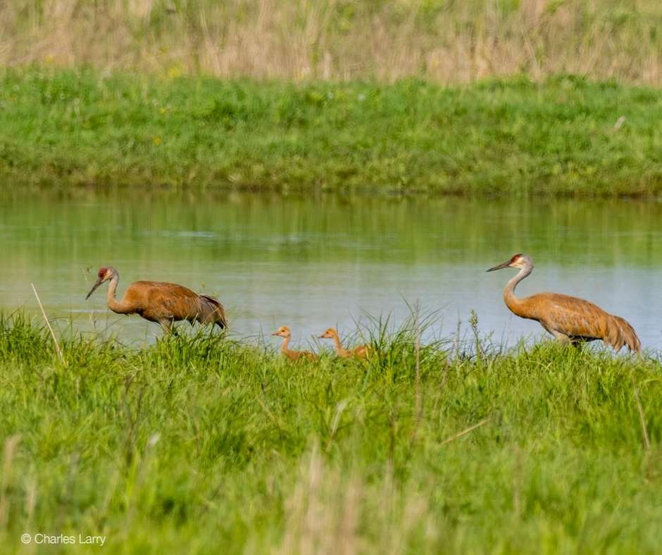 Sandhill Cranes by Charles Larry
